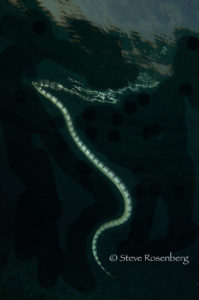 Sea Krait