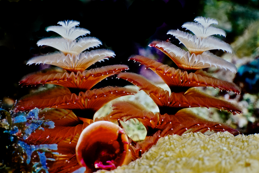 Dive and Travel Bay Islands   Christmas Tree Worm